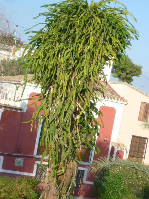 hylocereus - Hylocereus undatus - pitaya - Page 2 La_vil17