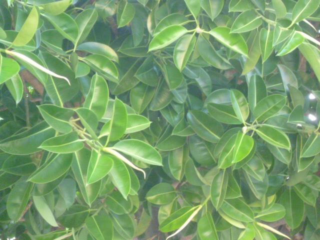 Ficus macrophylla La_vil25