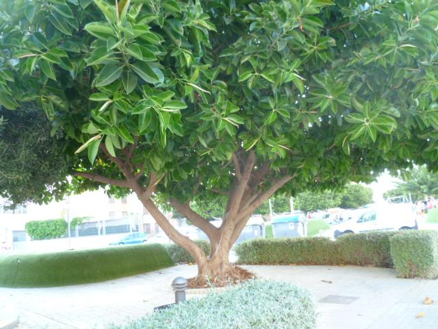 Ficus macrophylla La_vil26