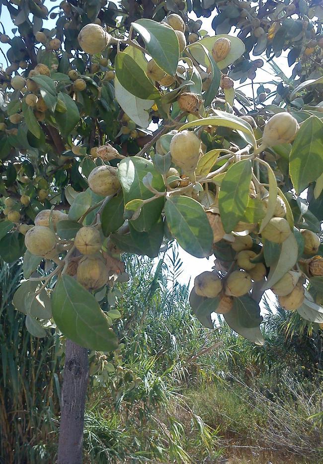 Lagunaria patersonia Laguna10
