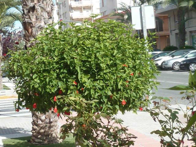 Malvaviscus arboreus - hibiscus piment, hibiscus dormant - Page 2 Malvav13