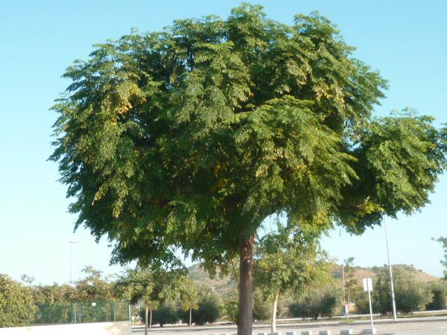 Melia azedarach 'Umbracullifera' Melia10