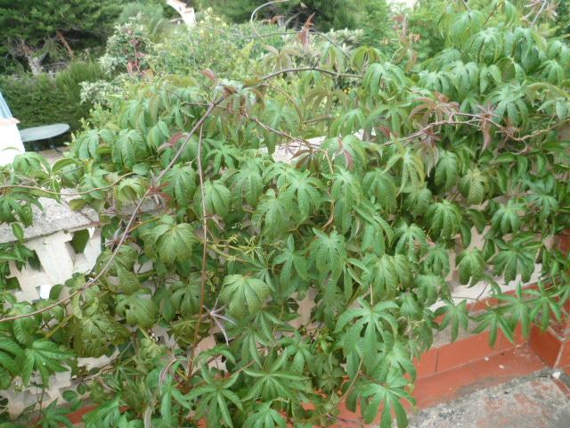 Merremia tuberosa - liane de Gandelour Merrem12