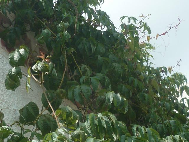 Merremia tuberosa - liane de Gandelour Merrem15