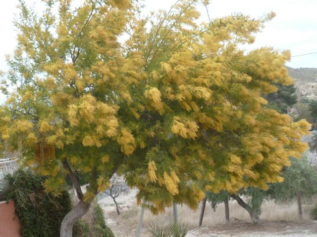 Acacia dealbata - Page 2 Mimosa10