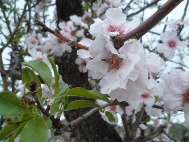 Branches de vie Mimosa11