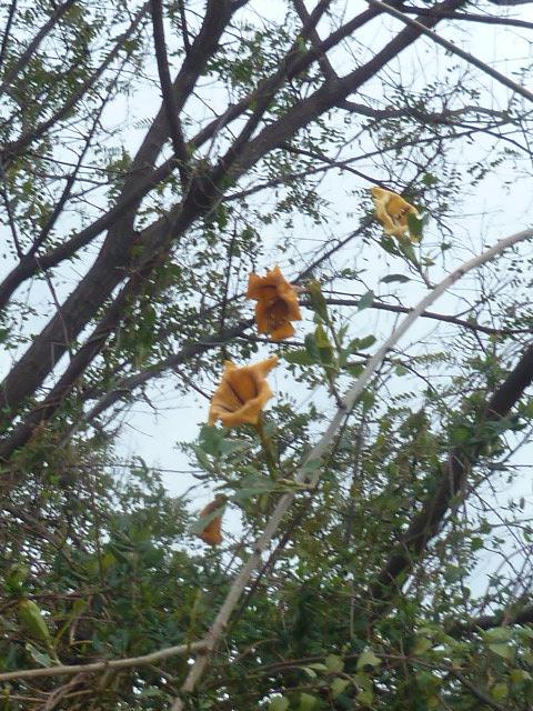 Solandra maxima - Page 3 Mimosa12