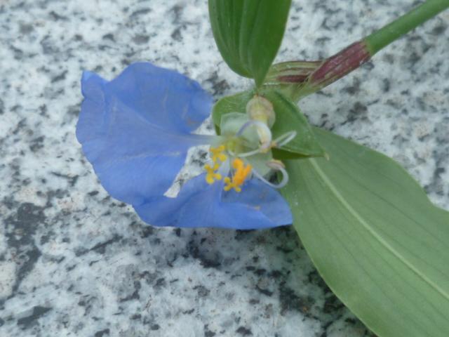 Commelina erecta Misere11