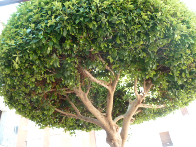 Ficus benjamina Neflie15