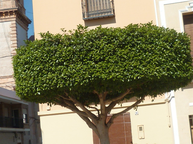 Ficus benjamina Neflie16