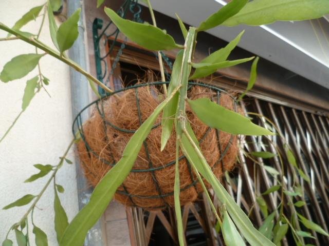 Epiphyllum anguliger - Page 3 Neflie18