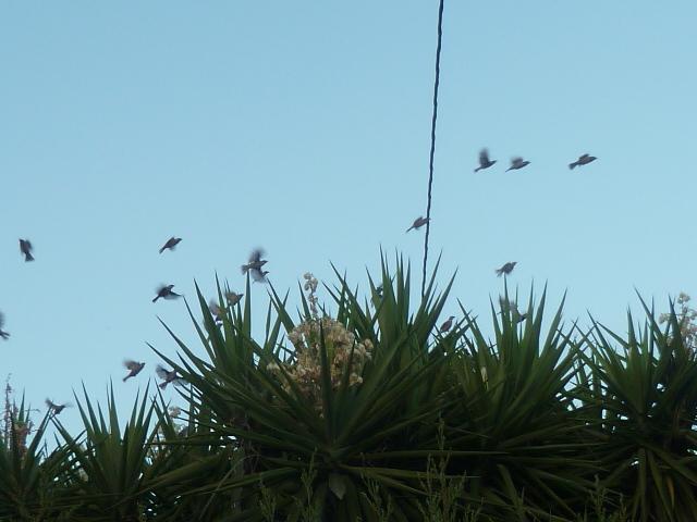 Yucca elephantipes - Yucca gigantea - Yucca guatemalensis - Page 6 Oiseau10