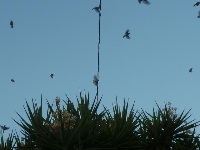 Yucca elephantipes - Yucca gigantea - Yucca guatemalensis - Page 6 Oiseau11