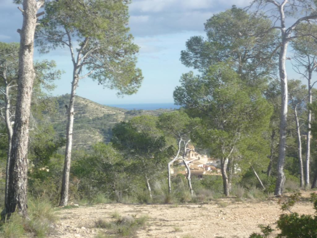 Pinus halepensis - pin d'Alep P1070810
