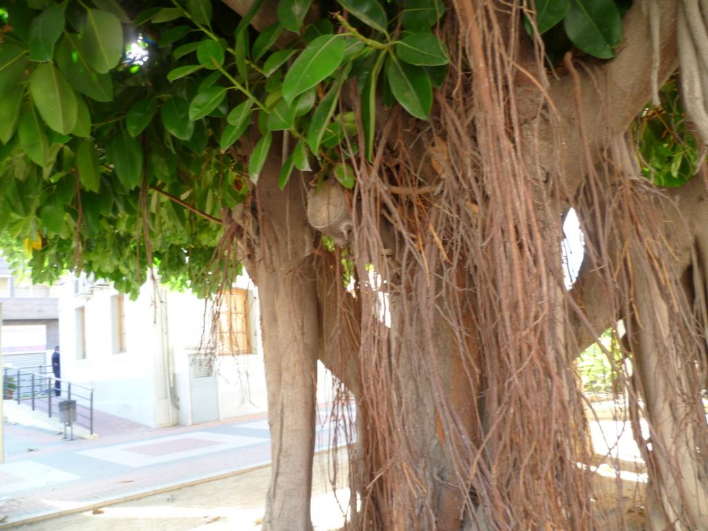 Ficus elastica - caoutchouc - Page 2 P1080010