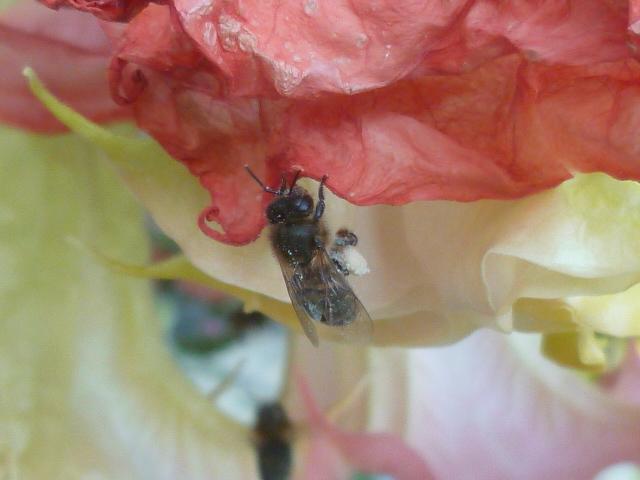 abeilles P1100416