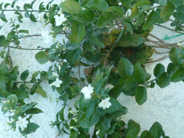 Jasminum sambac P1100510