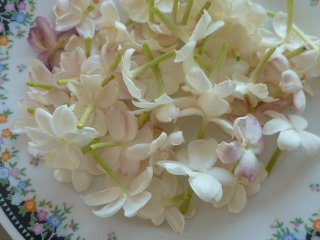 Jasminum sambac P1100511