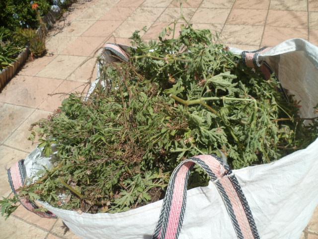 Solanum betaceum (= Cyphomandra betacea) - tomate en arbre P1100527