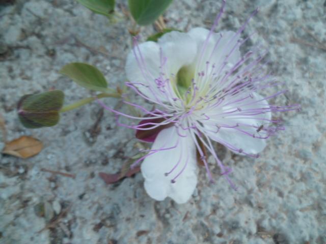 Espagne - flore de la région d'Alicante - Page 3 P1100536