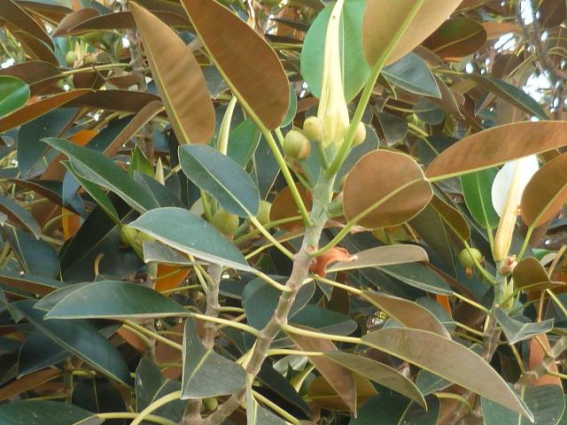 Ficus elastica - caoutchouc - Page 2 P1100537