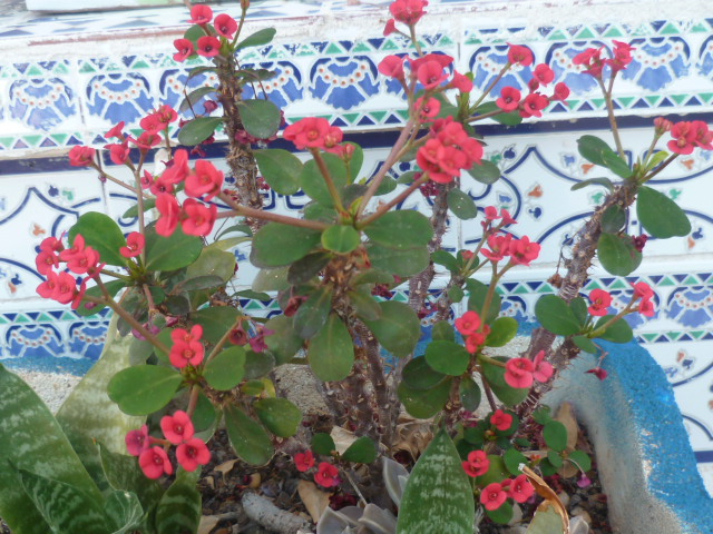 Euphorbia millii - Page 3 P1100612