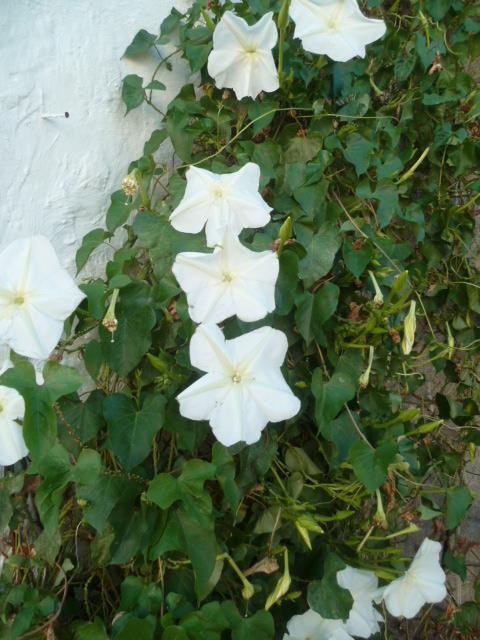 Ipomoea alba - fleur de lune - Page 2 P1100615