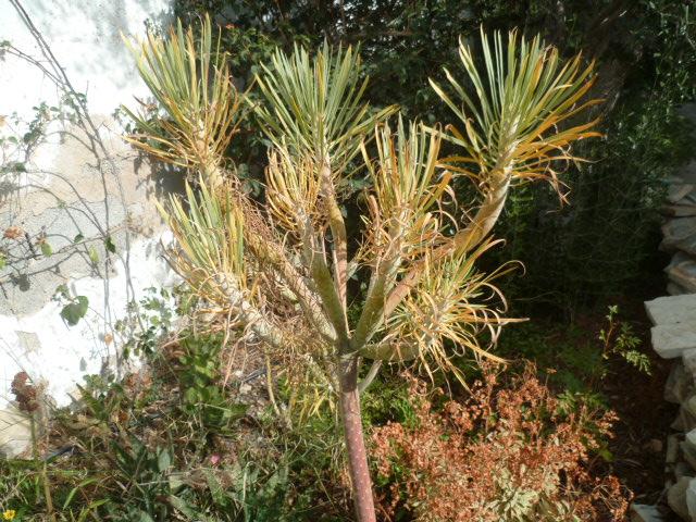 Kleinia neriifolia (= Senecio kleinia) - Page 2 P1100627