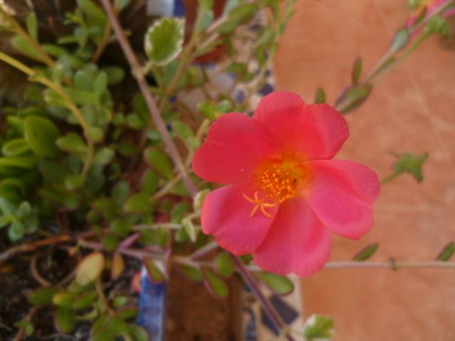 Portulaca grandiflora - pourpier à grandes fleurs  P1100632