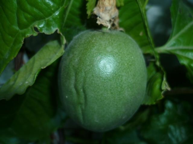 Passiflora edulis var. kerii (= Passiflora incarnata) P1100640