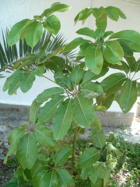 Schefflera actinophylla P1100712