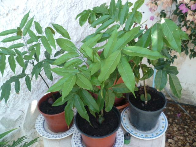 Castanospermum australe - châtaignier d'Australie P1100713