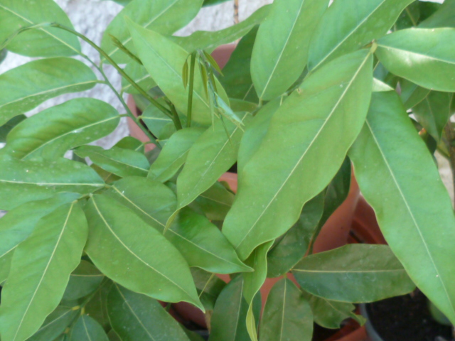 Castanospermum australe - châtaignier d'Australie P1100714