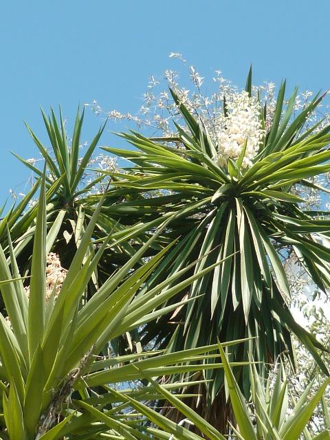 Yucca elephantipes - Yucca gigantea - Yucca guatemalensis - Page 5 P1100716