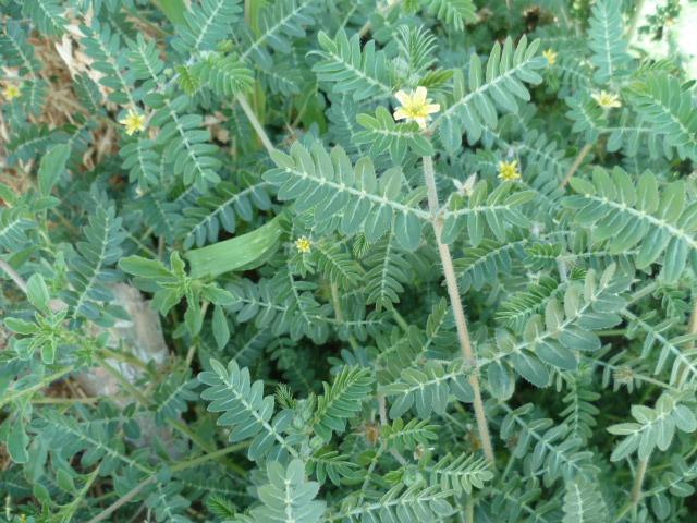 Tribulus terrestris [Identification] P1100745