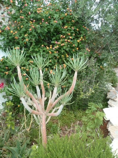 Kleinia neriifolia (= Senecio kleinia) - Page 2 P1100824