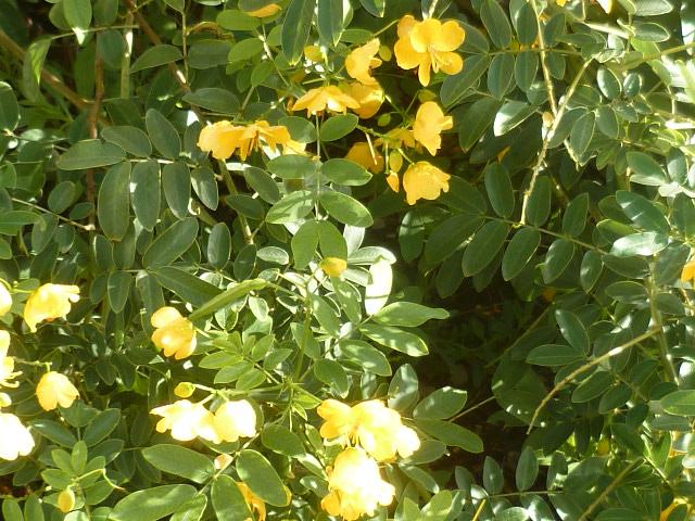 Senna floribunda et Senna corymbosa (= Cassia) - Page 2 P1100928