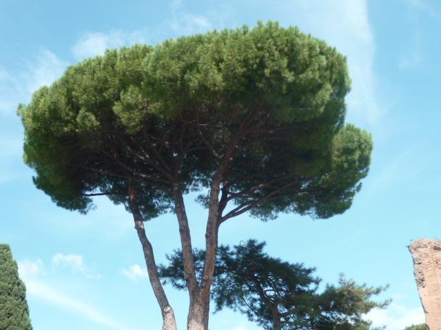 Pinus pinea - pin parasol - Page 3 P1100929