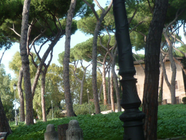 Pinus pinea - pin parasol - Page 3 P1100930