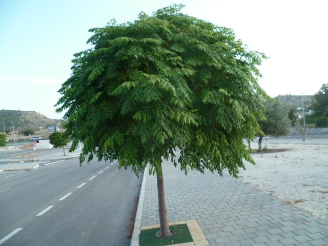 Melia azedarach 'Umbracullifera' P1110012