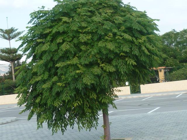 Melia azedarach 'Umbracullifera' P1110019