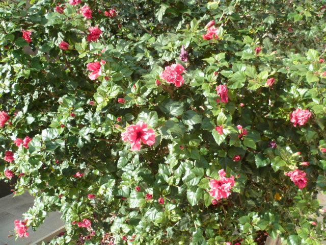 Hibiscus : conseils de culture et floraisons - Page 4 P1110036