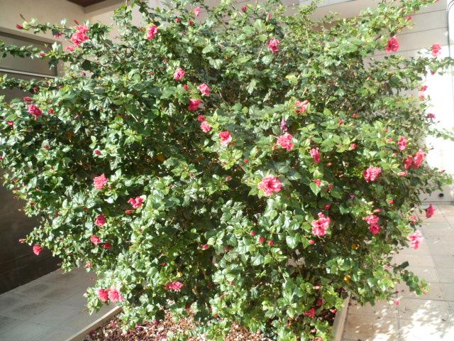 Hibiscus : conseils de culture et floraisons - Page 4 P1110037