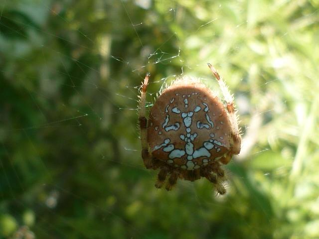 les 8 pattes - araignées et compagnie - Page 23 P1110048