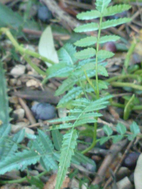 Schinus molle - faux poivrier  - Page 3 P1110051