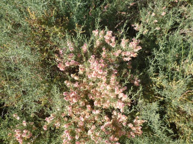 Espagne - flore de la région d'Alicante - Page 3 P1110068