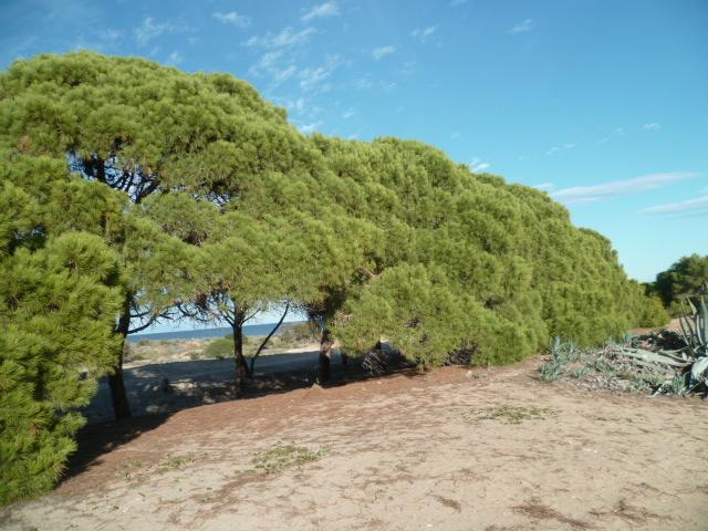 Pinus halepensis - pin d'Alep P1110120