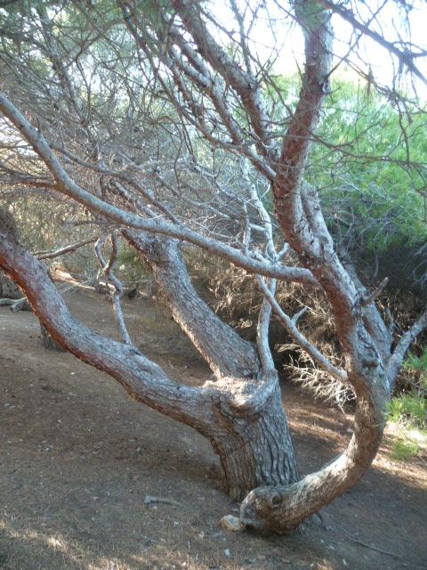 Pinus halepensis - pin d'Alep P1110122