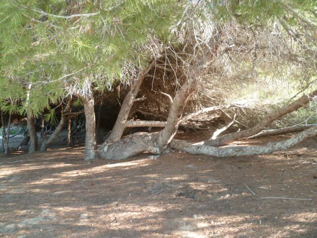 Pinus halepensis - pin d'Alep P1110123