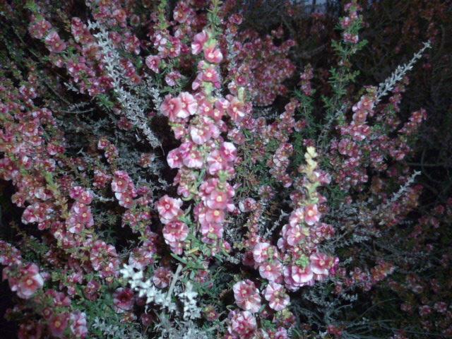 Arisarum vulgare et Salsola oppositifolia [Identifications] P1110128